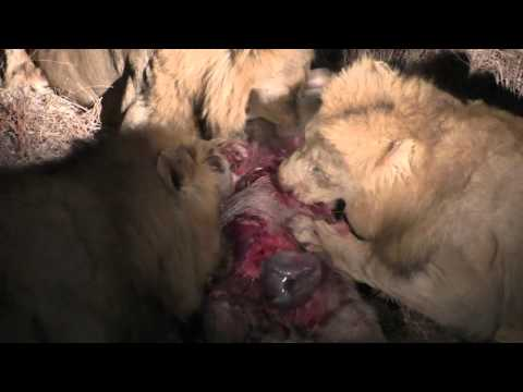 3 male lions rip warthog apart and eat it alive