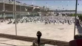 کبوتر ایرانی/ Iranian High Flyer Pigeons/ Tehran, Iran/ Mansour Aleshag