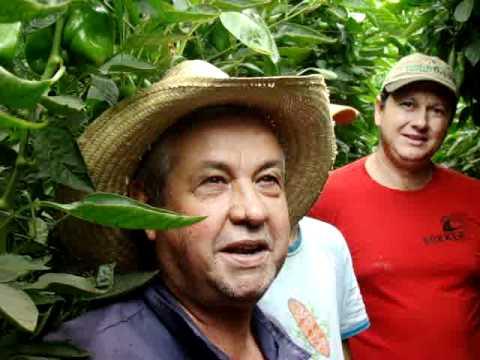 Estufas agricolas pimentao plantfort