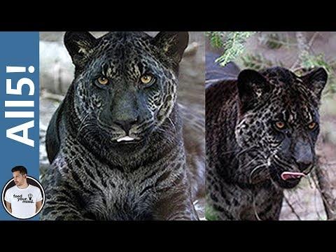 5 Of The Strangest Hybrid Animals!