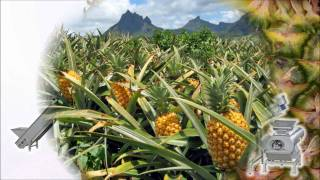 Pineapple juice extraction
