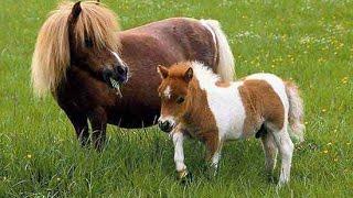 small pony horse breeder pair 03459442750 Zain Ali Farming in Pakistan