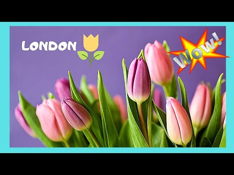 LONDON, beautiful spring TULIPS in FULL BLOOM at REGENT'S PARK