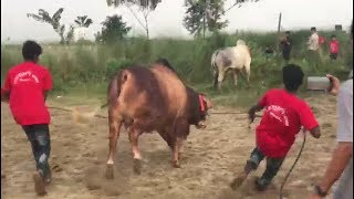 Desi bull paglami || Meghdubi Agro || 2017