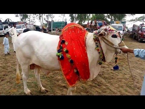 Talagang Bull Show Punjab Pakistan part 1