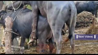 Buffalo mating