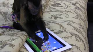 Monkey playing Angry Birds
