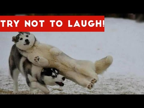 Try Not To Laugh At This Funny Dog Video Compilation Funny Pet Videos