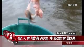 20150109 亞馬遜河水中霸主 食人魚吃相驚人