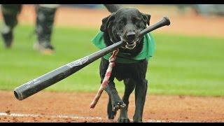 Miss Babe Ruth the batdog to retire after 649 consecutive games