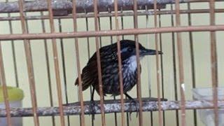 Suara Kicau Poksay Rawa Gacor Burung Langka Yang Unik