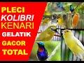 Kompilasi kicau burung pleci kolibri kenari dan gelatik mp3 download