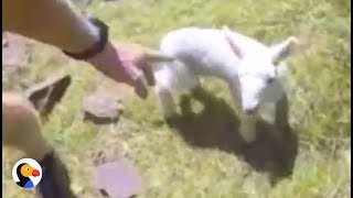 Lost Baby Lamb Carried Back To His Family by Runner | The Dodo