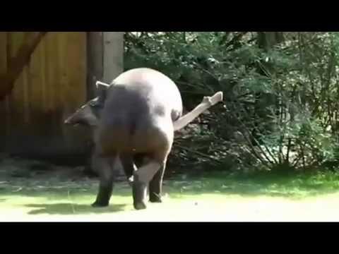 PENE DE 1 50 METROS. EL PENE DEL TAPIR. Uno de los más grandes del reino animal