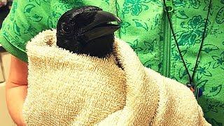 Pet Crow Gets A Bath