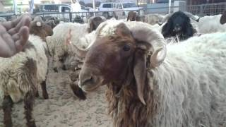 Eid ul Adha Beautiful sheeps in Saudi Arabia