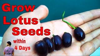 बीज से कमल उगाये मात्र् 4  दिन में /How to Grow lotus from Seed  - 10th June 2017/Mammal Bonsai