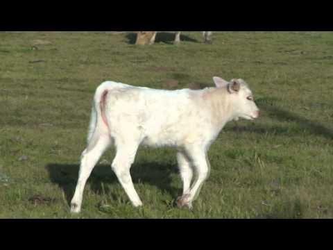 Baby Cows Super Cute