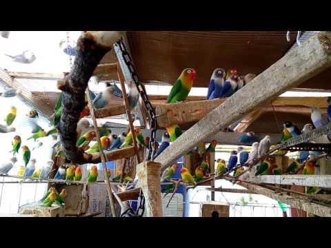 Agapornis aviarylovebird koloni my home