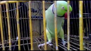 MITTU  *the parrot*