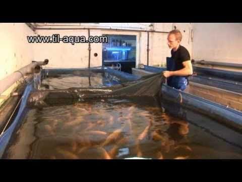 Til Aqua Natural Male Tilapia Hatchery