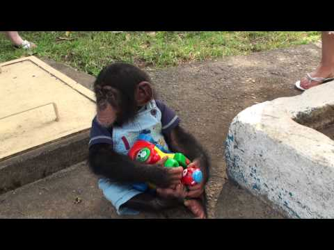 Xxx Mp4 Baby Chimp Doesnt Want To Share His Toy 3gp Sex