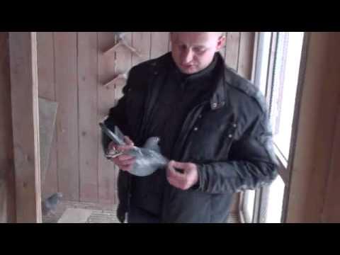 W gołębniku u Radka Małolepszego styczeń 2012