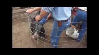 Castrating piglets