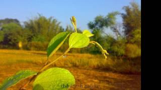 Great Gram Bangla R music video বাংলাদেশ: fresh nature Mozart *Happy 2011 !