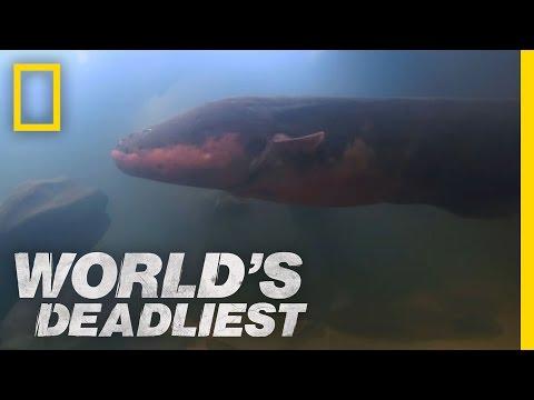Xxx Mp4 Six Foot Electric Eel World S Deadliest 3gp Sex