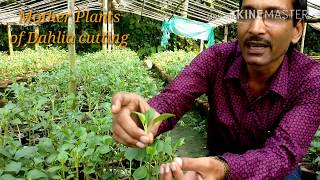 How to  Take Cuttings of Dahlia Plant with 100% Success