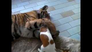 Small dog in love with a tiger! THE CUTEST!!!