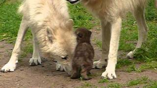 Two Arctic Wolf Babies