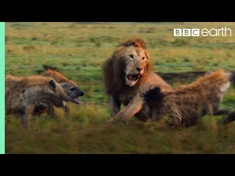 Lion Trapped by Clan of Hyenas Dynasties BBC Earth