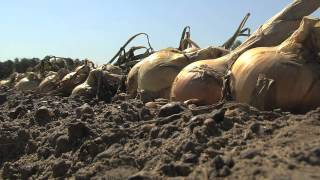 Vidalia Onion Harvesting Is Underway