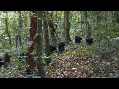 Violent chimpanzee attack Planet Earth BBC wildlife