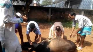 কুরবানি গাজিপুর gajipur...kurbani