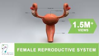The Female Reproductive System of Human