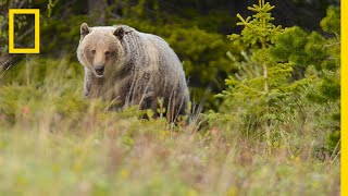 People and Bears Live in Harmony in This Wildlife-Friendly Town | Short Film Showcase