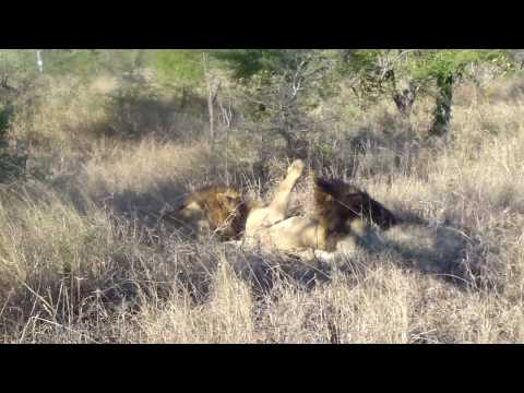 Two male lions attack and kill another male lion Video 1
