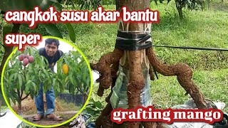 How... grafting mango trees ... with the roots of trees