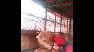 Lion Playing with a Man