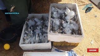 Pelota Pro Fishing 🌊🎣🎣🎣🌊 الصيد الاحترافي بالبيلوطا