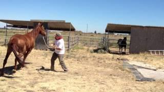Lunging a Pushy & Dangerous Horse- Stopping Pushy Crowding - Rick Gore Horsemanship