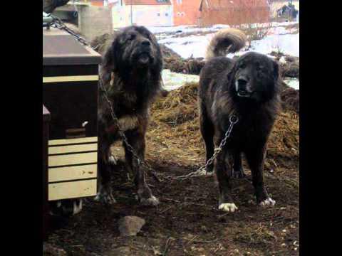 SHARRI THE MONSTER DOG ALBANER Qente Autoktone Shqiptar 2012