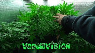 2018 Cali Legal Grow * Day 49 *  Last Days Of Veg Before Flower