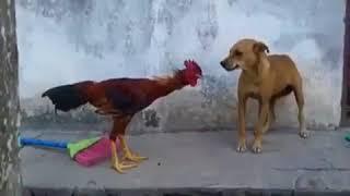 JOU MA SE - CHICKEN VS DOG