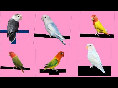 Top 10 Opaline Lovebird