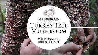 Turkey Tail Mushroom   Medicine Making, ID, Harvest, and More