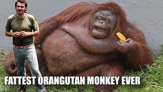 THE FATTEST ORANGUTAN EVER